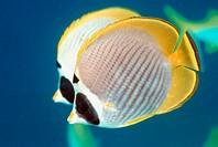 Panda butterflyfish (Chaetodon adiergastos).  Sipadan, Malaysia.