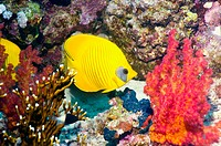 Golden butterflyfish (Chaetodon semilarvatus),  with soft coral. Red Sea, Egypt