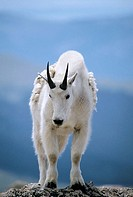 A mountain goat poses atop a rocky outcrop at over 14,000' on Mt. Evan's summit in Colorado, USA