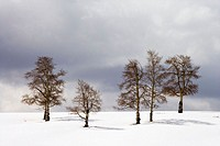 Six aspen trees stand bare in winter snow with a stormy sky above,San Juan Mountains, Colorado, USA