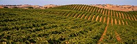 Vineyard on rolling hillside with golden hills in background,