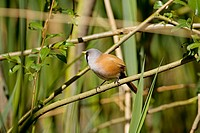 Bearded Tit (Panurus biarmicus), male. Norfolk. UK
