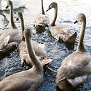 A group of young Mute Swans Cygnus olor
