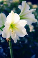 White Amaryllis. Hippeastrum sp. December 2006. Maryland, USA.