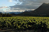 Panoramic view of a vineyard in front of mountains, Worcester, Western Cape Province, South Africa