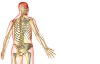 The nerve supply of the upper body (thumbnail)