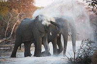 Elephants Spraying Themselves with Dust