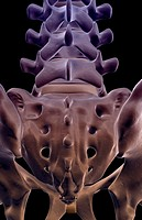 The bones of sacral vertebrae (thumbnail)