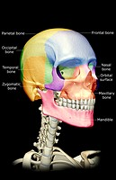 The bones of the head, neck and face