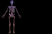 The skeletal system