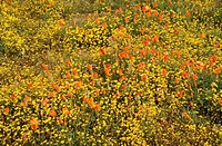 Field of orange and yellow flowers