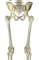 The bones of the lower limb