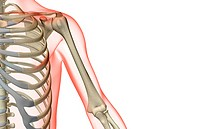 The bones of the shoulder and upper arm