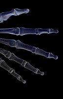 The bones of the fingers