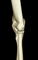 The bones of the elbow