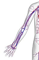 The blood supply of the upper limb