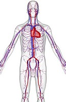 The blood supply of the upper body (thumbnail)