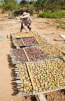 Drying figs in Majorca, Spain