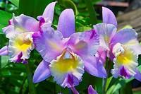 Orchids (Cattlyea sp.)