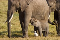 Elephants (Loxodonta africana). Few weeks old baby elephant and mother