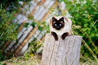 An adult female Siamese cat resting outdoors on a stump