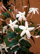 Jasmine flowers