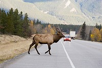 Large male Elk Cervus elaphus crossing highway in Jasper National Park, Alberta, Canada