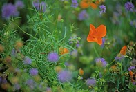 Orange California poppy in meadow, with blurry purple flowers, Whistler, B C