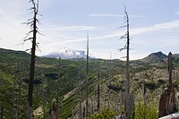 View of Mt St Helens and dead trees affected by 1980 blast, Mount St Helens National Volcanic Monument, Washington, USA