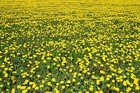 Field of dandelions in full bloom, Canada, Manitoba, Erickson