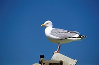 animal,bird,gull,herring-gull