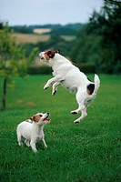 animal,dog,parson-jack-russel-terrier