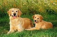 animal,dog,golden,retriever,puppy