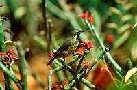 Mariqua Sunbird - Nectarinia mariquensis