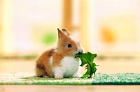 young pygmy rabbit eating dandelion - Sylilagus idahoensis - Brachylagus idahoensis