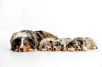 Australian Shepherd with three puppies