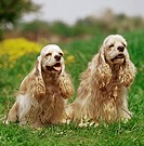 2 American Cocker Spaniel on meadow