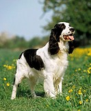 English Springer Spaniel on meadow