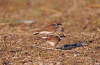 two Little Ringed Plovers - pairing - Charadrius dubius