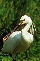 white spoonbill - portrait - Platalea leucorodia