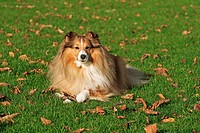 Sheltie - lying on meadow