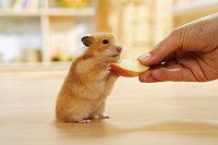 golden hamster getting an apple - Mesocricetus auratus