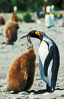 king penguin with cub - Aptenodytes patagonicus