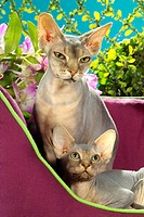 Sphynx cat and kitten