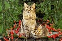 Maine Coon with kitten