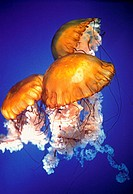 Three Jellyfish swimming underwater