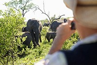 Adult man taking photograph of group of elephants back view