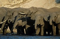 African Elephants Loxodonta Africana at waterhole