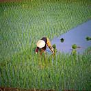 Vietnamese, paddy, Vietnam