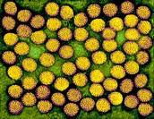 EM of rotavirus, a nonenveloped, double-shelled RNA virus, mag 82,000x at 24 x 36 mm Named for its wheel-like appearance, rotavirus causes viral gastr...